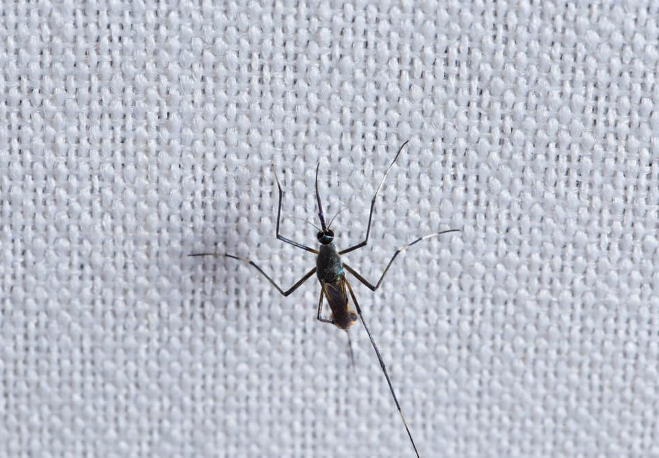 mosquito on white cloth about to try and bite through