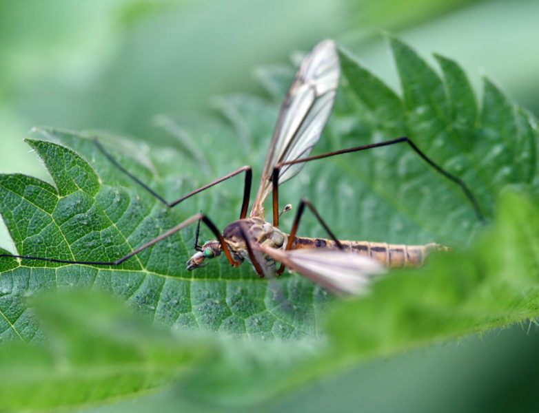 crane fly at the top of leaf