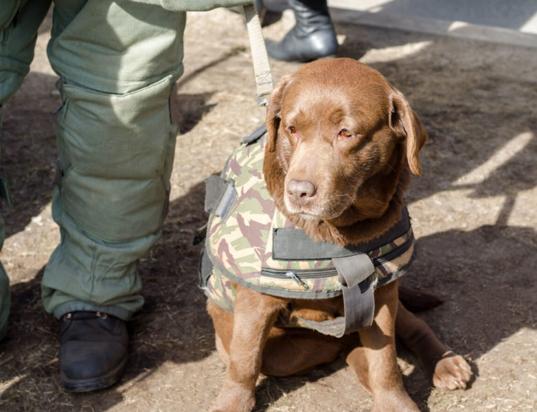 Image of a brown military dog wearing a tactical harness attached on a leash.